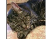 Cat - Missing from Hempnall Area