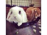 2 male bonded house rabbits need rehoming