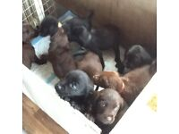 Springador puppies for sale