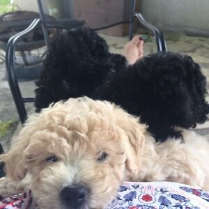 Poodle,  miniature/ toy puppies for sale