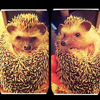 Looking for a COUPLE to adopt 2 SISTER-HEDGIES