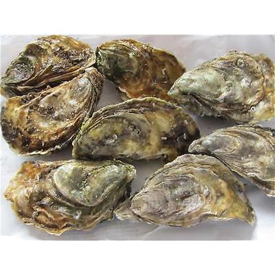 französische Felsen Austern 1 Einheit = 24 Stück