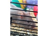 Syrian hamster with cage and accessories for sale £25