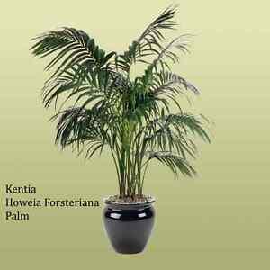 Kentia / Thatch Palm St Clair Penrith Area Preview