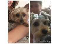 Tiny Female & Male Yorkie looking for a lovely home