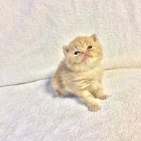 Purebred exotic short haired Persian kitten