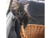 Female kitten 8 week