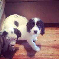 Adorable Dachshund Spaniel Puppies :)