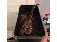 Leopard gecko and viv