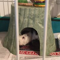 2 male guinea pigs, large cage and supplies