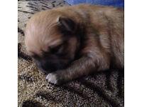Pomeranian x Chihuahau puppy