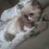 Friendly and very soft blue-eyed seal mitted ragdoll kitten