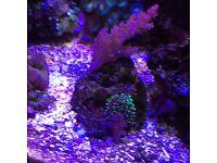 Reef marine corals ( fish tank)