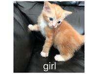Gourgous ginger kitten !!!!