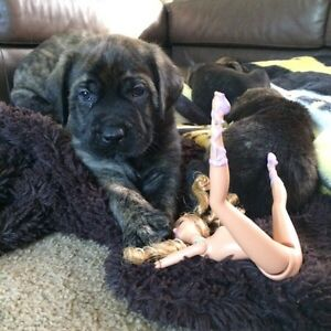 Beautiful English Mastiff Babies for Sale!