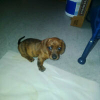 1 Dachshund pup for sale