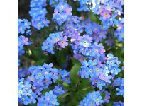 Garden plants for sale: lots of grape hyacinths and forget-me-nots