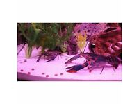 TROPICAL BABY BLUE LOBSTERS / CRAYFISH LAST FEW REMAINING ONLY £2