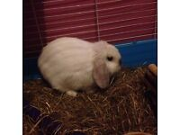 Male rabbit lop with cage and extras
