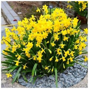 Daffodil plant for sale, yellow flowers $1 each plant