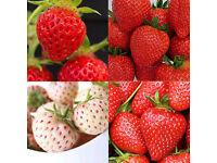 110+ Strawberry plants (11 varieties). Everbearing, June bearing, even White Strawberries!