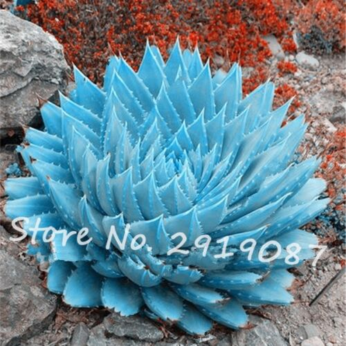50PCS Rare Blue Cactus Seed Seeds Exotic Cactus Office Plant Succulent Planting