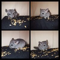 Chinchillas 4 Sale