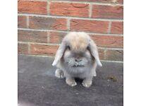 Mini lop girl rabbit