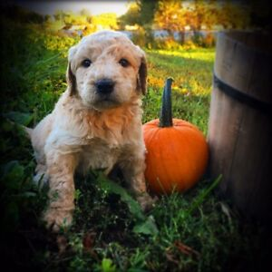 Gorgeous F1b Goldendoodle puppies!