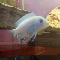 Looking for Female Cichlids:)