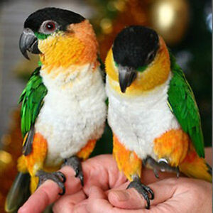 ❤♥☆♥ Caique ♥ Babies with Cage and Food ♥☆♥❤