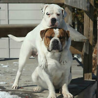 ALAPAHA BLUE BLOOD BULLDOGS PUPPIES COMING SOON