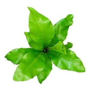 Plante asplenium nidus en pot 9cm foug re d 39 int rieur for Fougere d interieur plante