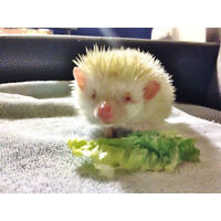 Hedgehog - looking for a good home.