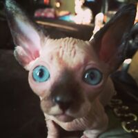 ***BARE IT ALL SPHYNX is expecting babies***