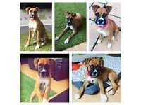 Boxer bitch 5 months old with pedigree papers