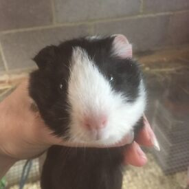 Baby guineapigs (male)