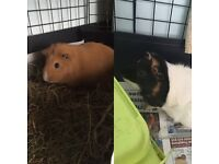 Two Guinea pigs for free
