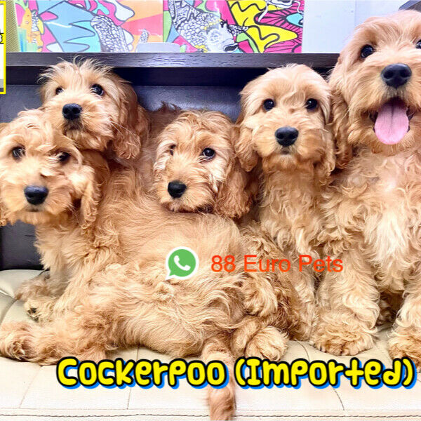 Cockerpoo Puppies for Sale Singapore