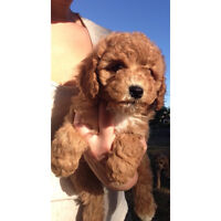 Miniature Poodle Puppies Ready for New Homes!