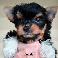 Biewer/parti Yorkie pups for sale 8 weeks, two male & one female