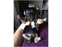 Gorgeous Chihuahua x Jack Russell Puppies Jackawawa