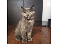 Gorgeous grey tortoiseshell kitten for sale