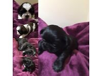 5 fluffy Shih Tzu girlspups for sale