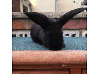 Black female rabbits