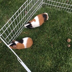 2 Male Guinea Pig for Sale