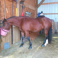 3 year old 15.2 hh Bay Mare and colt