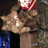 missing cat- long hair tabby- Airdrie area