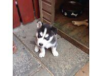 Siberian husky pups all blue eyes