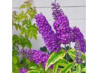 Buddleia purple shrub plant